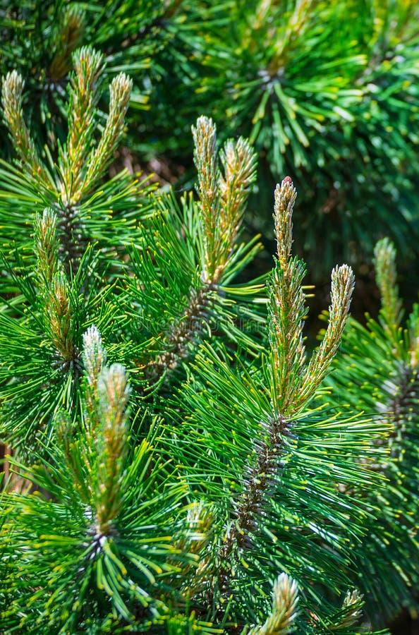 Jonge spruiten van pijnboombomen in de boslente De jonge bloesems van de de lente nette boom royalty-vrije stock afbeelding
