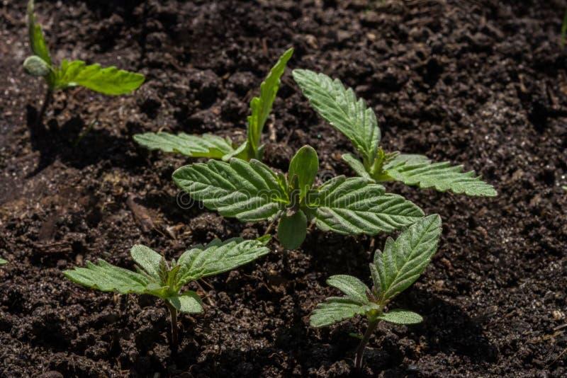 Jonge spruiten van wilde cannabis op de achtergrond van de grond royalty-vrije stock foto's