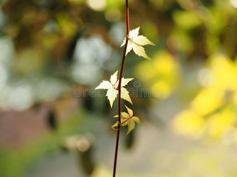 Jonge spruiten van wilde druiven, een klein groen blad royalty-vrije stock foto