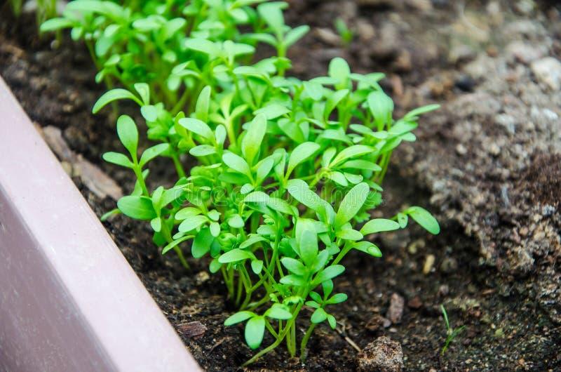 Jonge spruiten van witte waterkerssla in grond stock foto