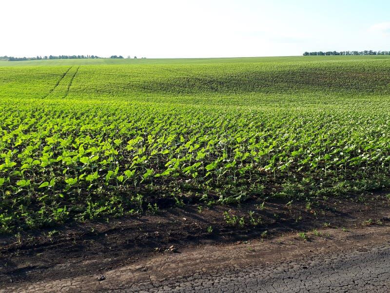 Jonge spruiten van zonnebloem op het gebied, de lenteconcept royalty-vrije stock afbeelding