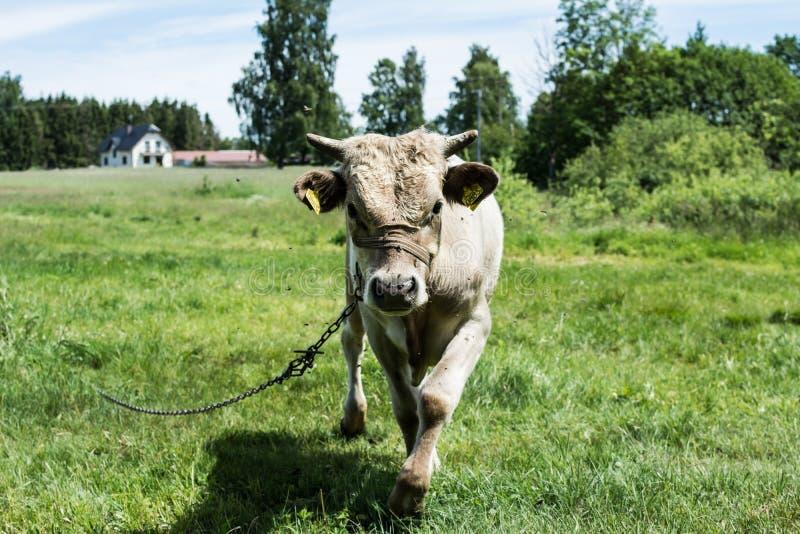 Jonge stier op een weide stock fotografie