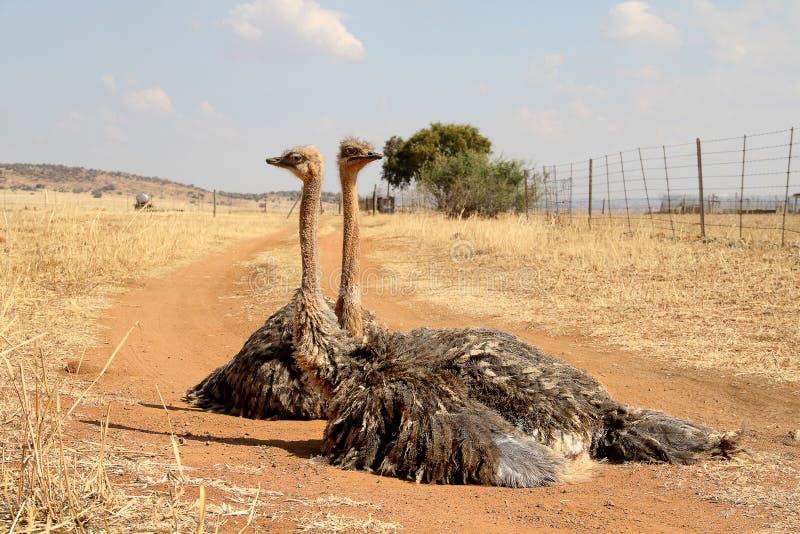 Jonge struisvogelvogels stock foto
