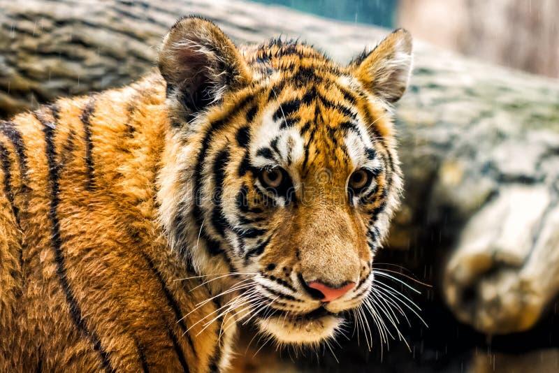 Jonge tijgerwelp royalty-vrije stock foto