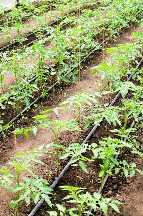 Jonge tomatenplanten stock afbeelding