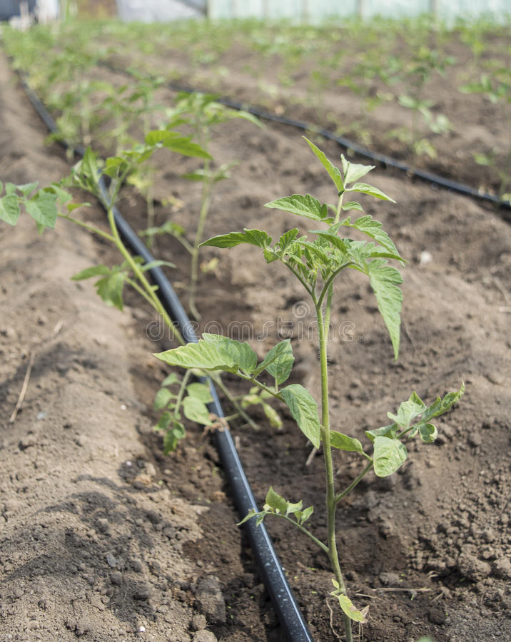 Jonge Tomatenplanten royalty-vrije stock afbeeldingen
