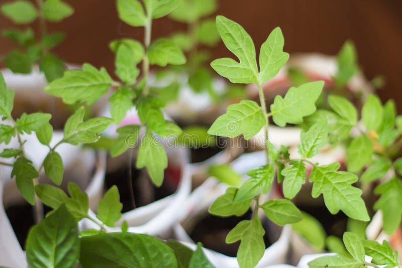 Jonge tomatenplanten in potten royalty-vrije stock afbeelding