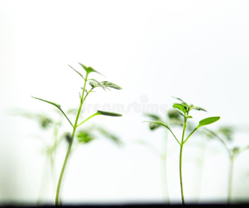Jonge tomatenspruiten op een lichte achtergrond stock foto