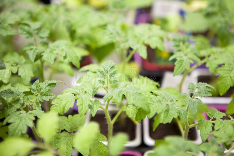 Jonge tomatenzaailingen in plastic potten royalty-vrije stock afbeelding
