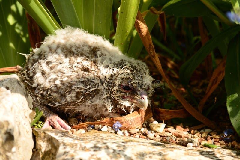 Jonge uil gevallen van het nest royalty-vrije stock foto