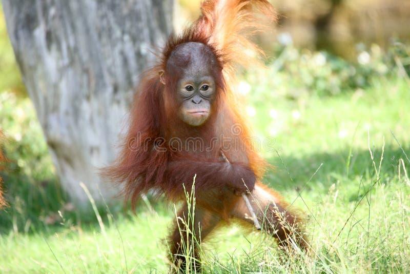 Jonge utan orang-oetan royalty-vrije stock afbeelding