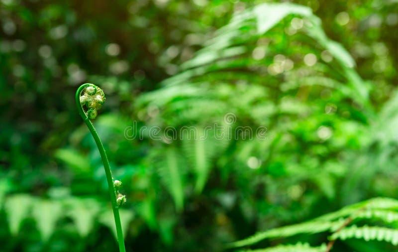 Jonge varen fiddlehead op bokeh en vage achtergrond van groene bladeren in wildernis Varenkrul en spiraalvormig blad Installatie  stock fotografie