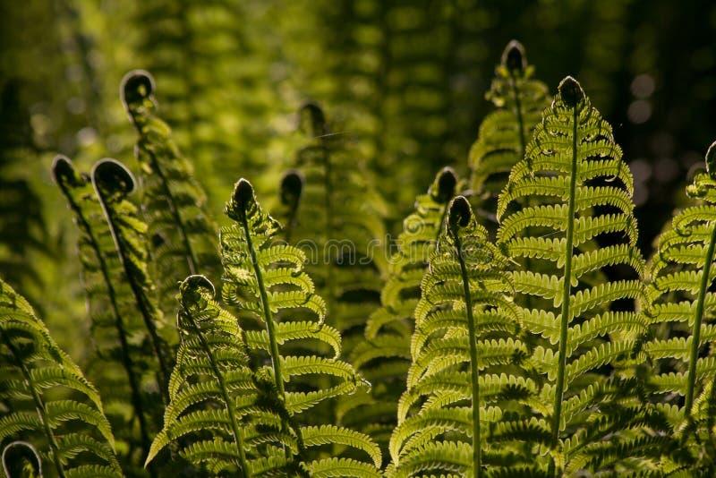 Jonge varenbladeren backlit door zonlicht stock afbeelding
