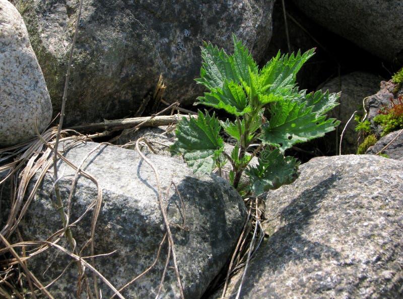 Jonge verse kiem die van netel, tussen grote grijze stenen groeien stock fotografie