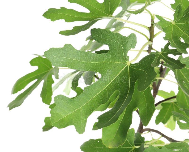 Jonge vijgeboom met weelderige bladeren royalty-vrije stock foto's