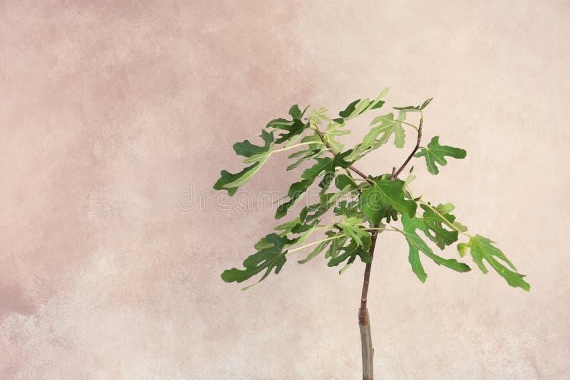 Jonge vijgeboom met weelderige bladeren royalty-vrije stock foto