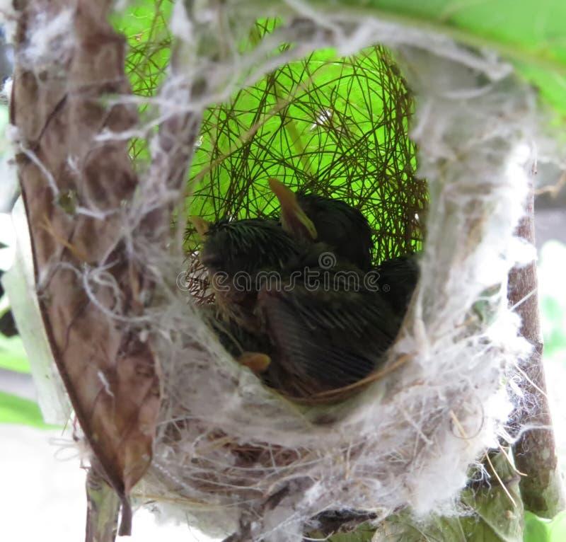 Jonge vogels in nest royalty-vrije stock foto's