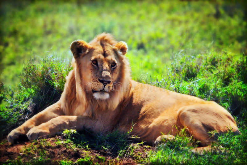 Jonge volwassen mannelijke leeuw op savanne. Safari in Serengeti, Tanzania, Afrika stock foto's