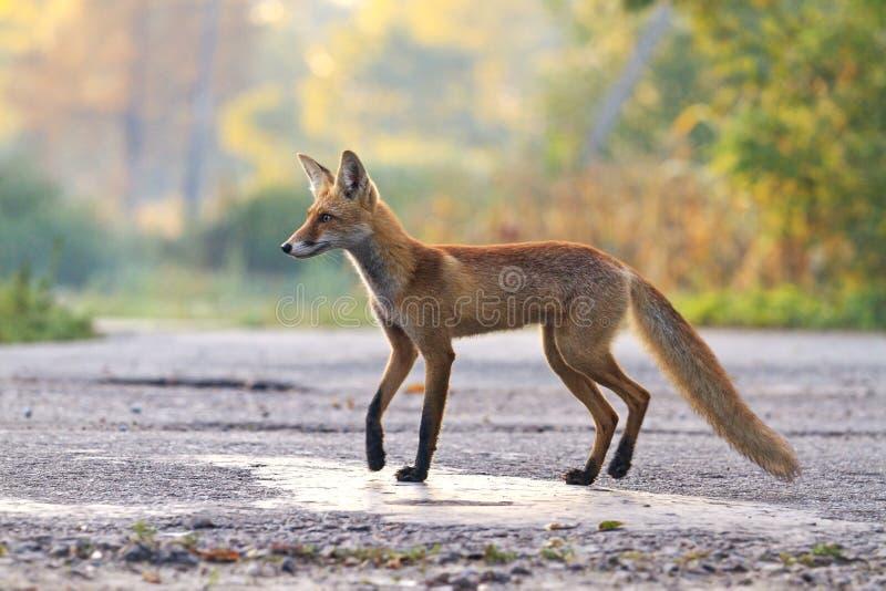 Jonge vos die zich op de manier bevinden stock afbeeldingen
