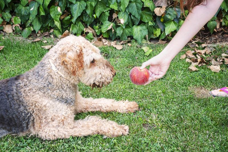 Jonge vrouw die een perzik geven aan haar hond, airdale terriër De zitting van de hond op het gras royalty-vrije stock afbeelding