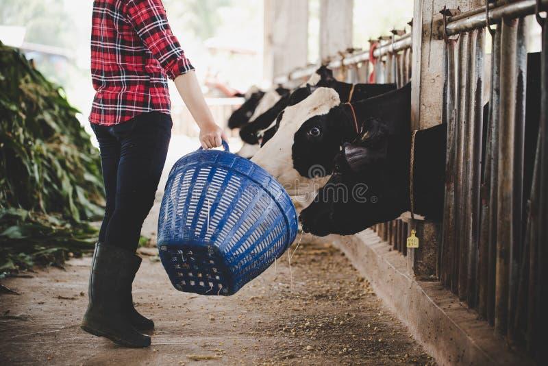 Jonge vrouw die met hooi voor koeien aan melkveehouderij werken royalty-vrije stock fotografie