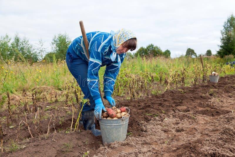 Jonge vrouw het oogsten aardappel stock afbeelding