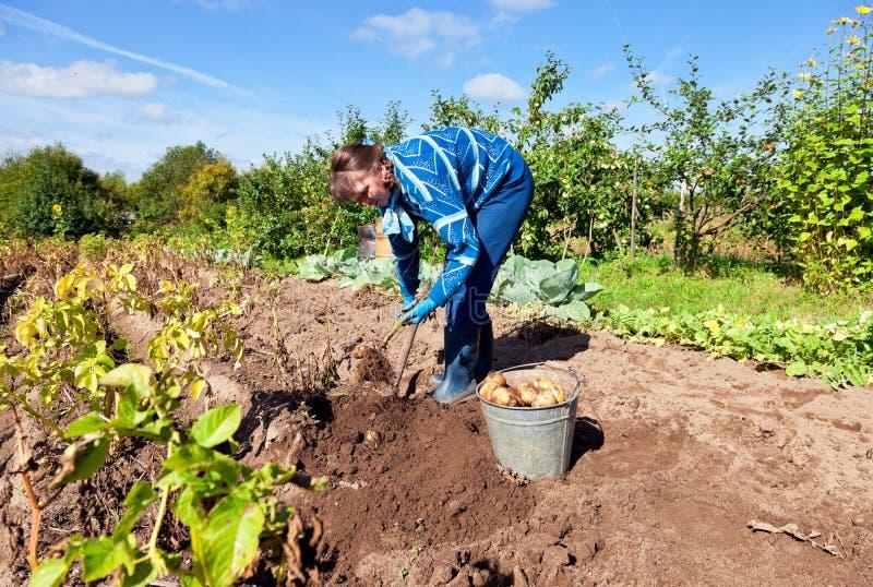 Jonge vrouw het oogsten aardappel royalty-vrije stock afbeeldingen
