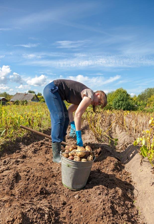 Jonge vrouw het oogsten aardappel royalty-vrije stock foto's