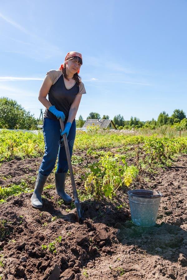 Jonge vrouw het oogsten aardappel royalty-vrije stock afbeelding