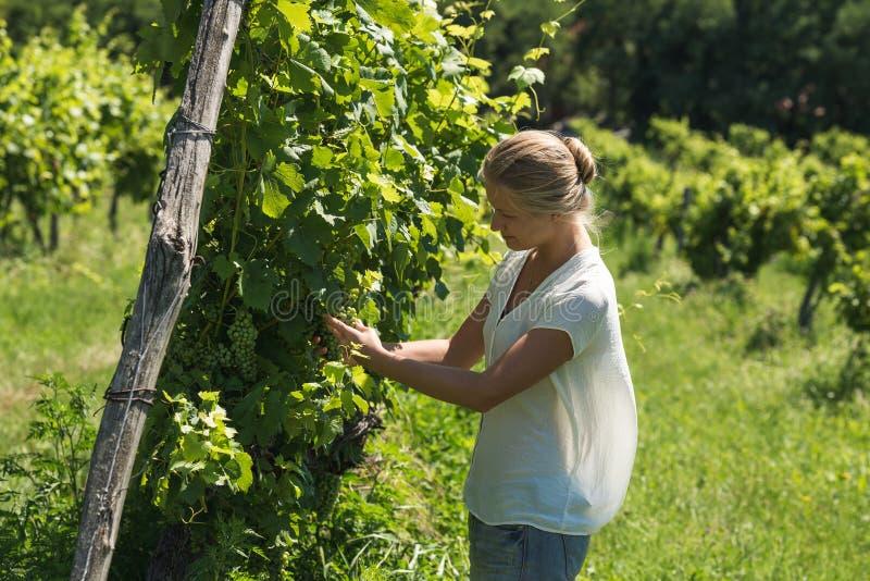 Jonge vrouw het plukken druivenoogst bij wijngaard op zonnige dag stock foto