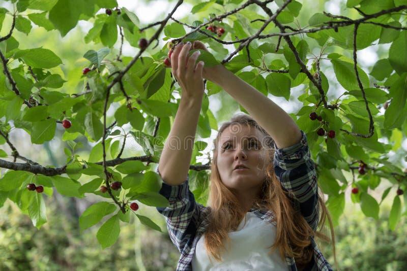 Jonge Vrouw het Plukken Kersen royalty-vrije stock afbeelding