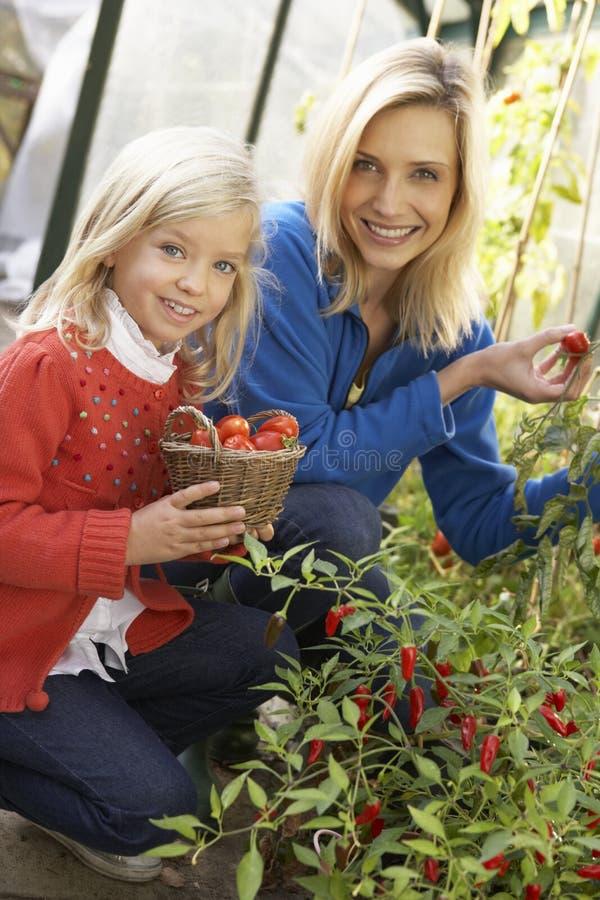 Jonge vrouw met kind het oogsten tomaten stock foto