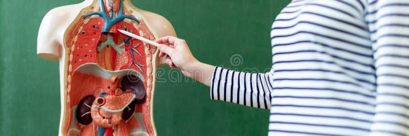 Jonge vrouwelijke leraar in biologieklasse, het onderwijzen menselijk lichaamsanatomie, die kunstmatig lichaamsmodel gebruiken om stock fotografie