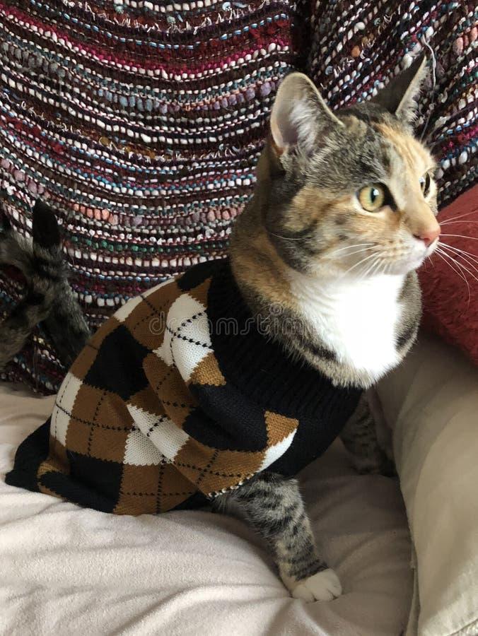 Jonge Vrouwelijke Tortie Cat Wearing Argyle Sweater stock afbeeldingen