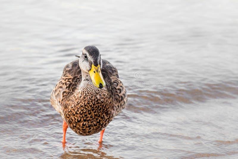 Jonge vrouwelijke wilde eendeend die zich op lakeshore bevinden die camera bekijken royalty-vrije stock foto