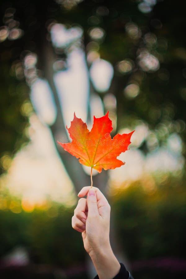 Jonge vrouwenhand met het blad van de de herfstesdoorn stock afbeeldingen