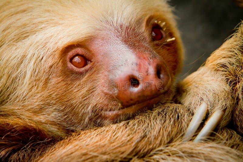 Jonge wakkere luiaard in Ecuador Zuid-Amerika royalty-vrije stock afbeeldingen