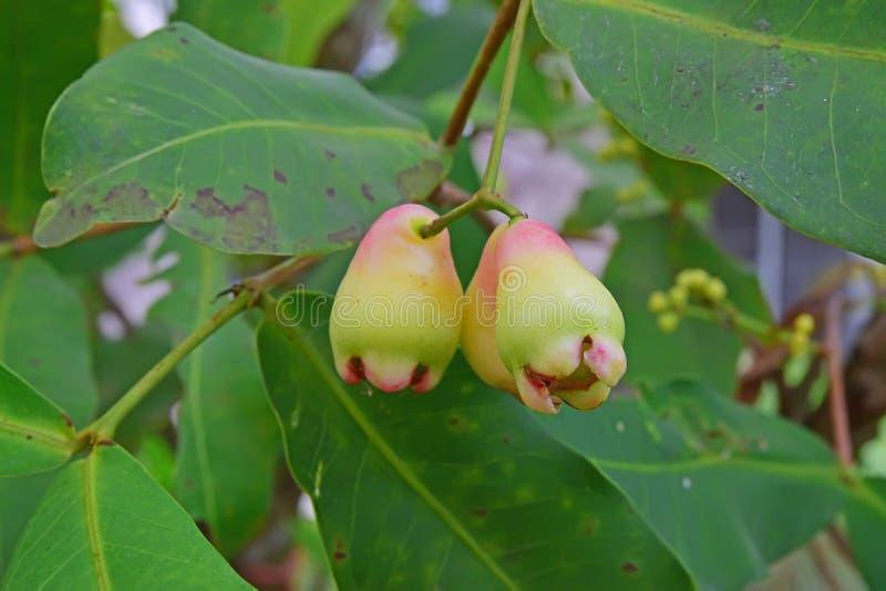 Jonge Wasappelen die op boom met nadruk op het juiste fruit groeien stock fotografie