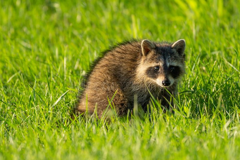Jonge wasbeer op gras bij gouden uur royalty-vrije stock afbeeldingen