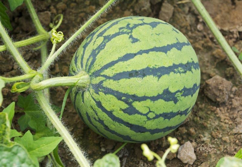 Jonge watermeloen stock afbeeldingen