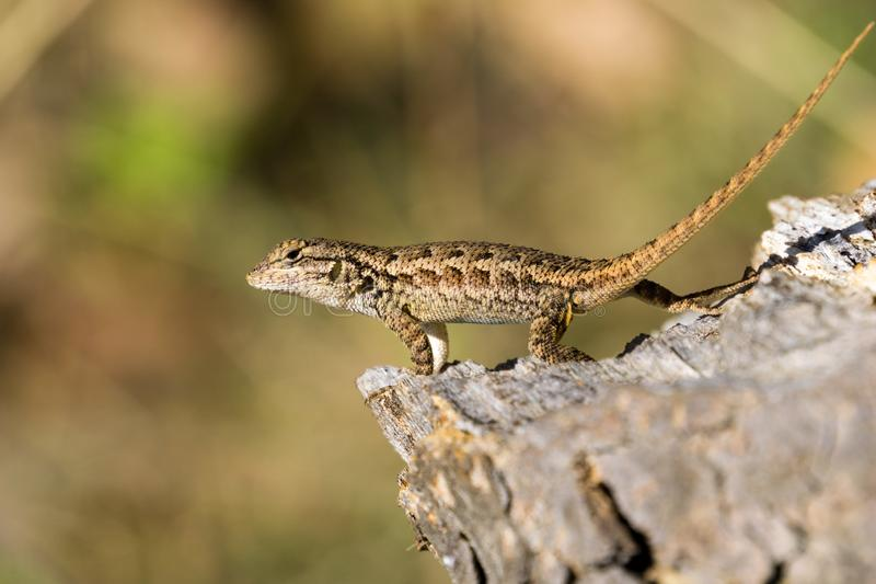 Jonge Westelijke Omheining Lizard, Californië; vage achtergrond royalty-vrije stock afbeeldingen