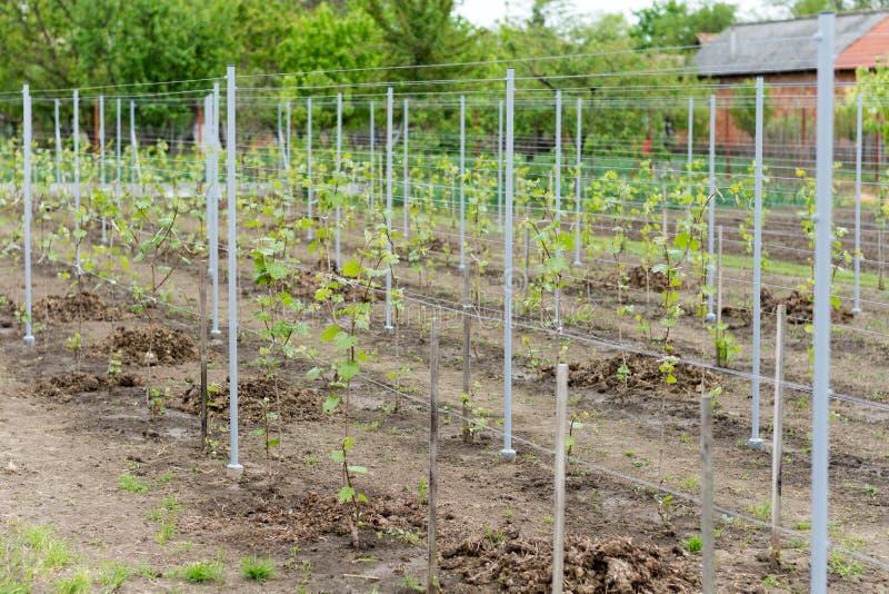Jonge wijngaard in binnenlandse productie stock foto's
