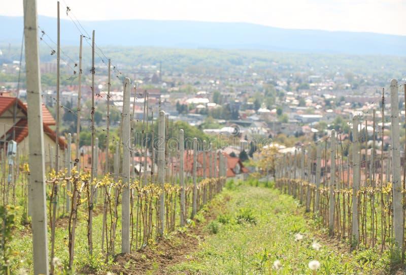 Jonge wijngaard in de stralen van zonlicht op de berghelling tegen de achtergrond van een kleine stad Groeiende vruchten en het m royalty-vrije stock fotografie