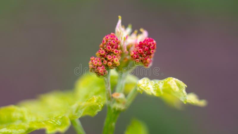 Jonge wijnstok en bladeren van druiven in de lente stock foto's