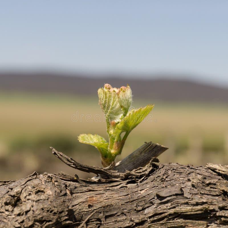 Jonge wijnstokbladeren stock fotografie