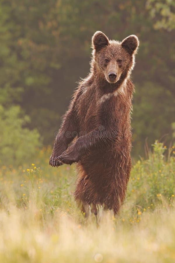 Jonge wilde nieuwsgierige bruin draagt, ursusarctos, status opgericht in rechte positie inzake achterbenen royalty-vrije stock afbeeldingen