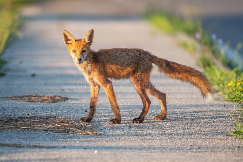 Jonge wilde rode vos die zich op een stoep bevinden stock afbeelding