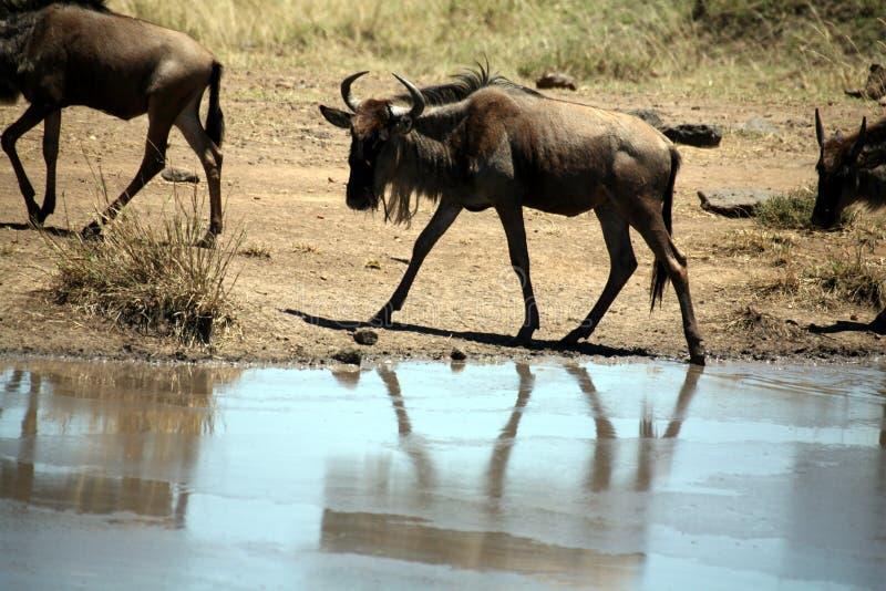 Jonge Wildebeest (Kenia) royalty-vrije stock afbeeldingen