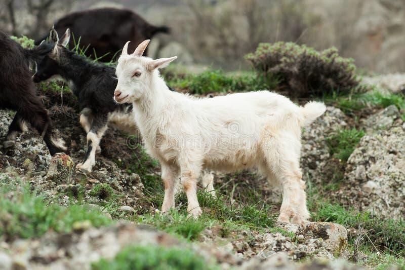 Jonge witte geit stock fotografie