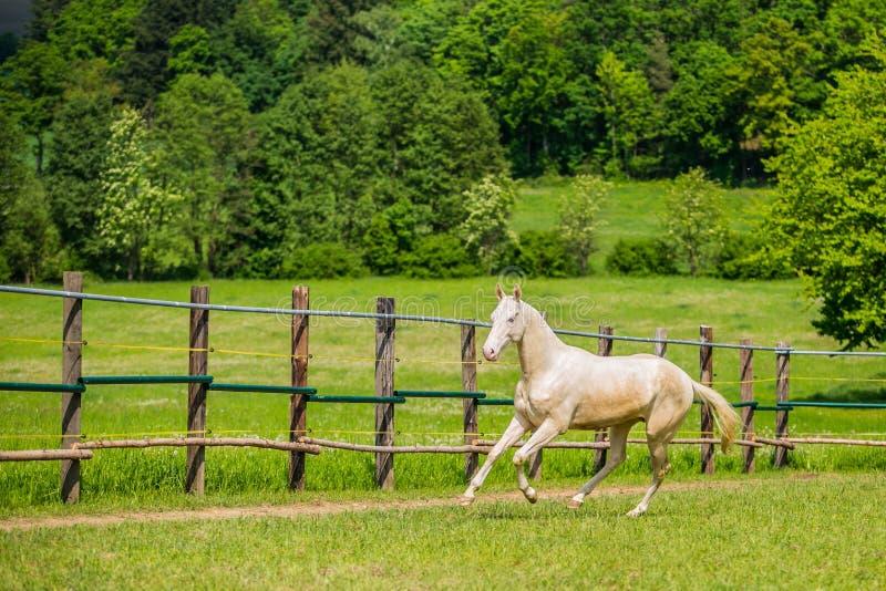 Jonge witte hengst van het paard van Akhal Teke het galopperen stock foto